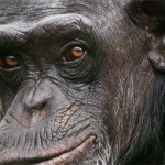 chimp-fact-sheet-featured